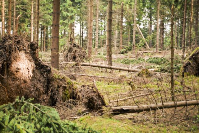 die Bäume fielen wie Streichhölzer