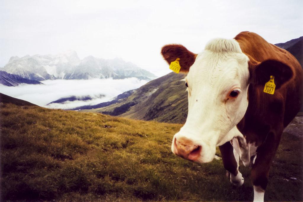glotzende Kuh über den Wolken