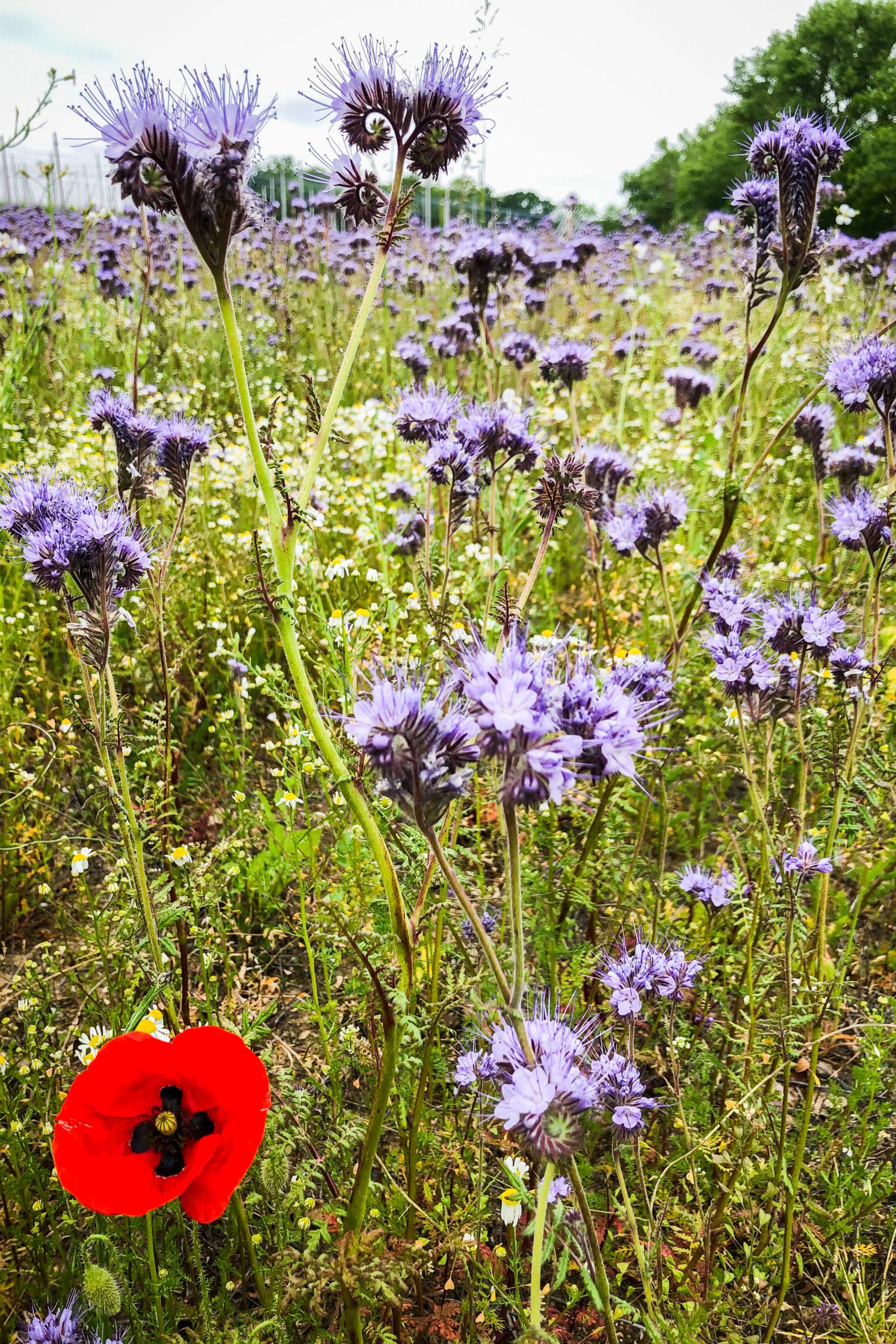 kurz vor Meißen fanden wir ein wunderschönes Blumenfeld